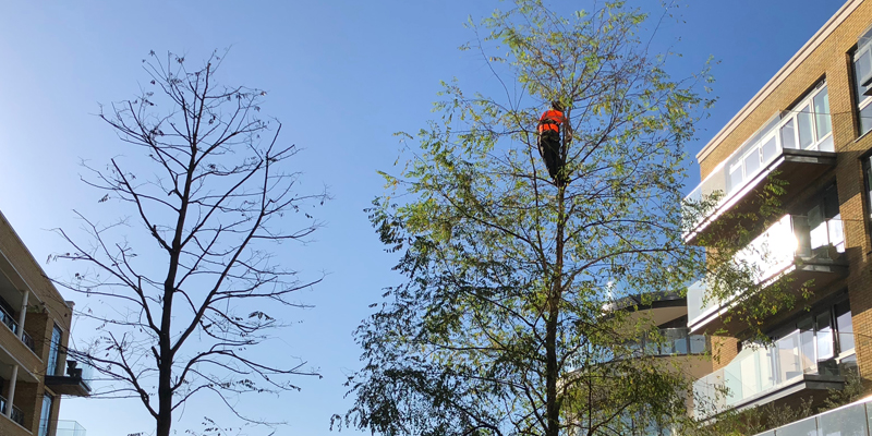 man with chainsaw tree pruning up high in tree